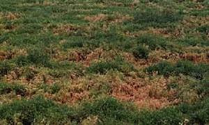 Photo a lentil crop with numerous patches of dead, brown plants