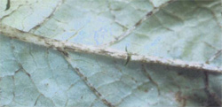 Dark streaking of veins on the under surface of a French bean leaf caused by C. lindemuthianum