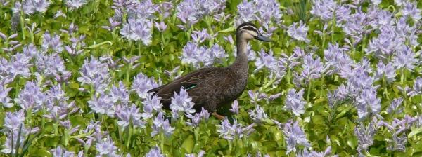 Duck walking on floating water hyacinth