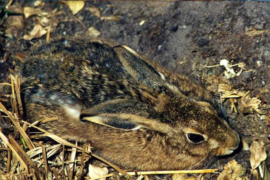 Hare laying in a depression in the ground, surrounded by leaves and twigs