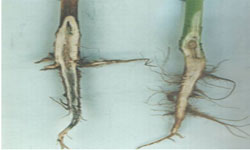 Photo of two canola plants, a healthy plant and a plant suffering from root rot.