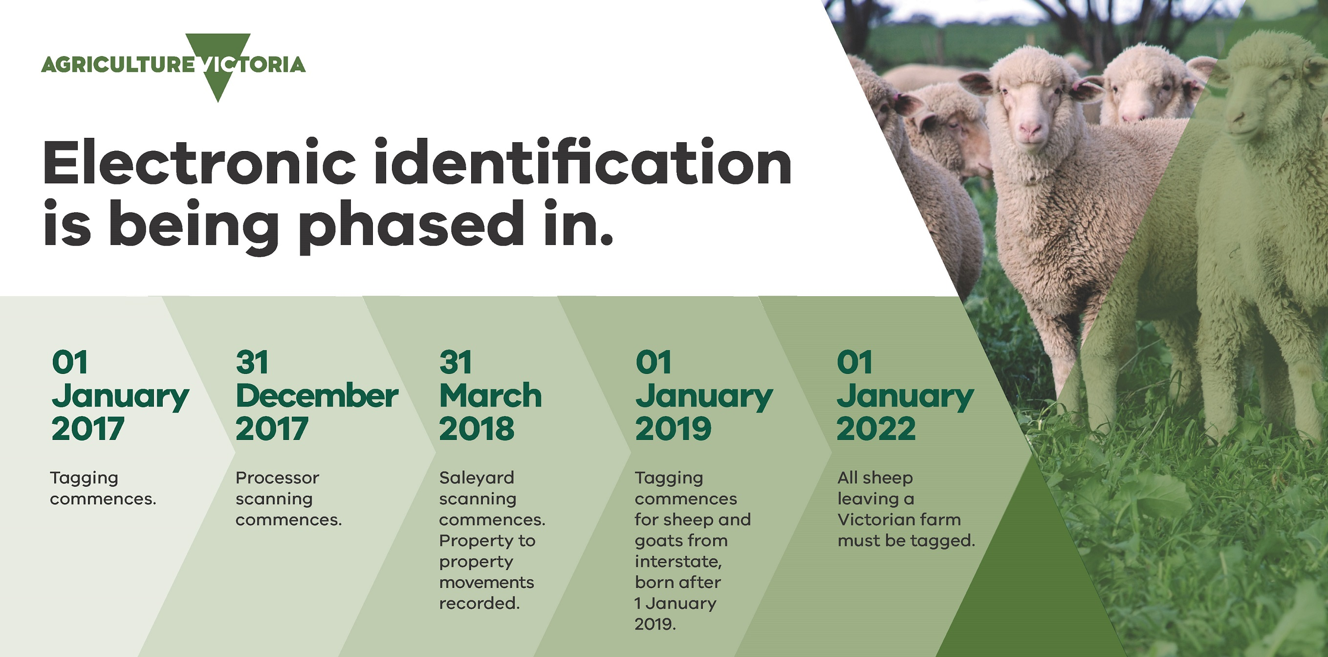 Timeline for phasing in electronic identification for sheep and goats, including photograph of sheep in a field and Agriculture Victoria logo. Timeline described in the paragraph below.