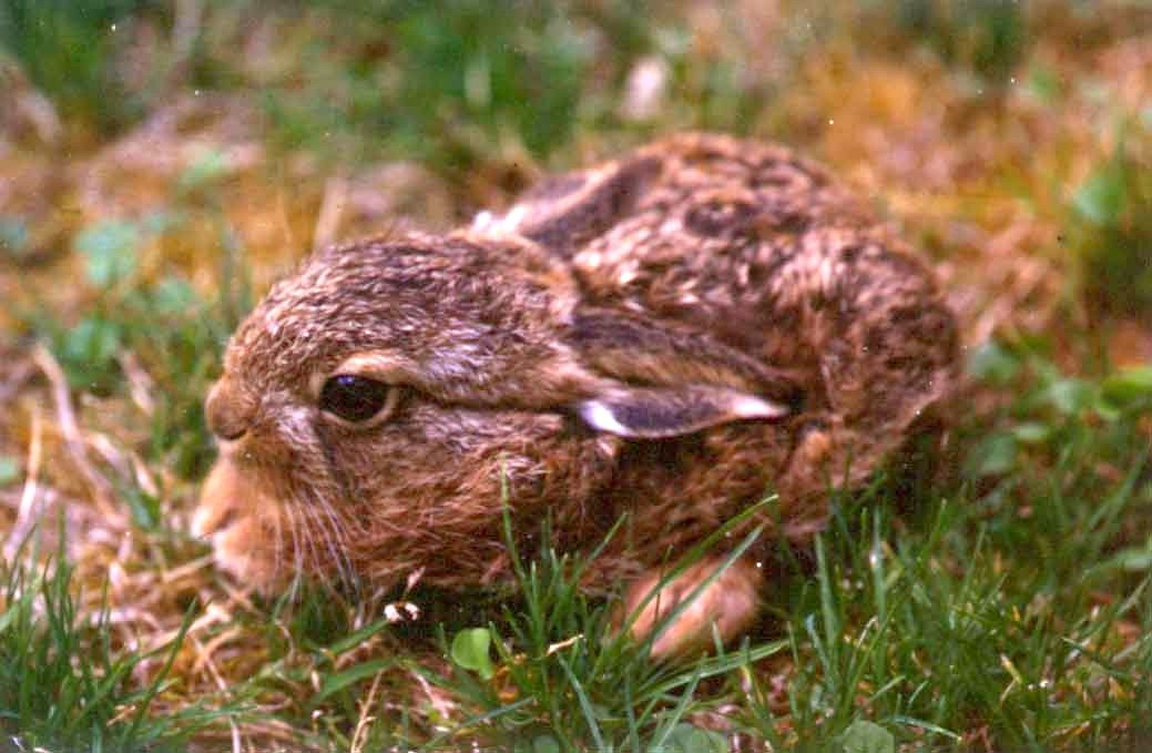 Leveret in grass