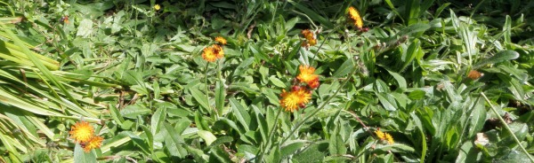 Dense mat of orange hawkweed covering the ground