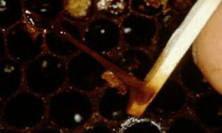 Matchstick pulling out sticky brown larval remains from a cell