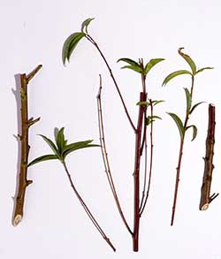 Shoots from an infected tree