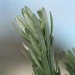Green leaves of Flax-leaved broom